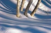 Birch trees and shadows. Ontario, Canada