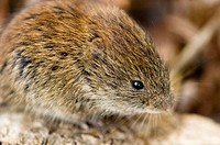 Red-backed vole, (Myodes gapperi)