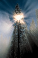 Sunlight shines through the leaves and branches of a tall conifer tree on a foggy day, Yellowstone National Park