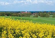 Charlock near Zakrzowiec, Poland