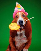 Basset Hound with Party Hat and Lollipop