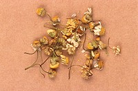 Ginkgo Biloba Flowers