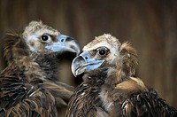 Pair of Black Vultures (Aegypius monachus)