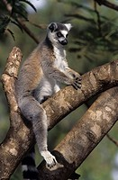 Madagascar, Berenty, tree, branch, Katta,  Lemur catta, sitting  Forest, jungle, rain forest, thicket, nature, wildlife, animal, animals, wild animal,...