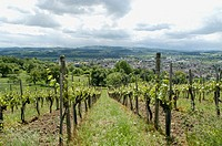 Vineyard over the town Weinfelden, canton Thurgau, Switzerland