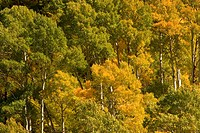 Yellow and green Aspen trees in the High Sierra wilderness along South Lake Road west of the town of Bishop, California, United States