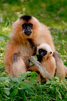 Female golden-cheeked gibbon with baby (Hylobates concolor gabriellae) captive. France