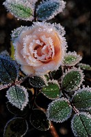 Flower bed, rose bloom, hoarfrost   Plant, flower, rose, bloom, ring, ice crystals, icy, freezes over, frostily, cold, season, autumn, nature, nature ...
