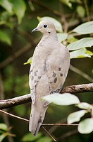 A Mourning Dove (Zenaida macroura) on a branch, Pennsylvania, USA