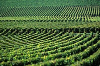 The vineyard of the Côte de Beaune - Côte-d'or - Burgundy - France