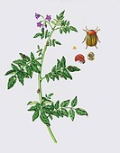 Colorado potato beetle Leptinotarsa decemlineata with a potato plant, artwork  This beetle is a serious pest of commercial potato crops  The insect is...