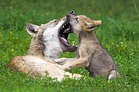 Meadow, wolves, Canis lupus, dam,  Young, playing, bites  Series, wild animals, Wildlife, animals, mammals, carnivores, wild dogs, affection, is caref...