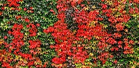 Boston ivy Parthenocissus tricuspidata leaves in full autumn colour  Photographed in Vancouver, British Columbia, Canada