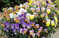 Violets Viola ´Pansies´