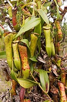 Pitcher plants Nepenthes sp  growing on a tree  Pitcher plants are able to grow on soils with very few nutrients because they have evolved the ability...