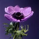 Anemone flower Anemone sp