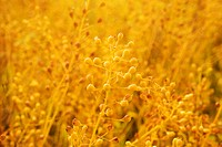 Camelina sativa  This plant is also known as Gold of Pleasure and is a member of the Cruciferae family  The image shows a plant that has grown past th...