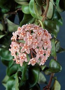 Hoya carnosa compacta  Close up pink flowers Christer Andreason TPS