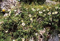 Evergreen rose flowers Rosa sempervirens amongst rocks