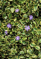 Greater periwinkle flower Vinca major ´Variegata´, syn  ´Elegantissima´  Photographed in May
