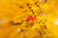 Japanese maple leaves Acer palmatum  Photographed in Maryland, USA, in autumn