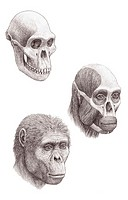 Australopithecus africanus  Artist´s impression of the skull, facial muscle structure and face of an Australopithecus africanus hominid  A  Africanus ...