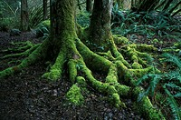Temperate rainforest  Epiphytic mosses and ferns on tree roots in a temperate rainforest  Photographed in southwest British Columbia, Canada