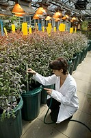 Hydroponic sage cultivation  Medical researcher checking the water supply for sage plants being grown in a laboratory using the nutrient film techniqu...