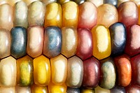 Indian corn Zea mays  This is a type of mutlicoloured maize  The different kernel colours are associated with genes that control natural pigmentation ...