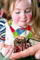 Biology lesson  Pupil holding a Chilean rose tarantula Grammostola rosea in her hands  This species of tarantula is commonly kept as a house pet