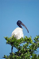 Black-headed ibis Threskiornis melanocephalus  This bird is found throughout Asia from Sri Lanka to Japan  It lives in wetlands and uses its long beak...