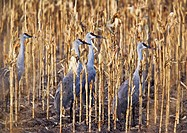 Greater sandhill cranes Grus canadensis tabida standing in a corn field  This bird is found in wetlands throughout North America  It wades in shallow ...