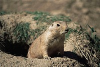 Prairie dog Cynomys ludovicianus emerging from a burrow  These short-tailed, short-legged rodents live in the USA to the west of the Mississippi river...