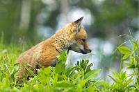 Meadow, Rotfuchs, Vulpes vulpes, young,  Profile,   Nature, fauna, animal, mammal, wild animal, carnivore, fox, young, puppy, interest, vigilance, obs...