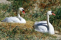 Hump swans, Cygnus olor, couple,  Nistplatz,   Beach, animals, wild animals, swans, two, nest, offspring, increase, Schwanennest, nests broods, nature...