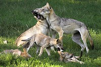 Meadow, gray wolves, Canis lupus,  Dam, young, playing,   Series, zoo, animal enclosures, wildlife, animals, wild animals, mammals, carnivores, Hundea...
