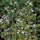 Real thyme, thymus vulgaris,   Krätuer of the year 2006,  Nature, botany, vegetation, plant, thyme, Lippenblütler, thyme, half shrub, branchy, branche...
