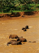 Island Sri Lanka, Kegalla, Pinnawela  Elephant Orphanage, river Maha Oya,  Bath place, elephant herd, bathes,  Asia, South Asia, province Sabaragamuwa...