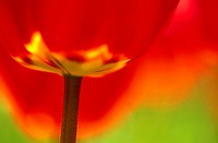 Tulip, Tulipa, bloom, red, close-up,  Fuzziness,   Nature, botany, vegetation, flora, plant, flower, lily plant, ornament flower, ornamental plant, ga...