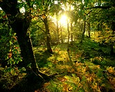 Great Britain, Wales, Gwynedd,  Snowdonia National Forest, nature,  Forest, evening sun, back light,  Trees, seasons, autumn, mood, evening, sun, suns...