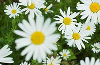 Flowers, daisies, blooms, know-yellow,  Quietly life,   Garden, nature, botany, flora, plants, flowers, Leucanthemum vulgare, summer, simply, blooms n...