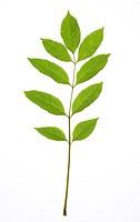 Ash, Fraxinus excelsior, detail,  Leaf,   Deciduous tree, tree, plant leaf, stalk, abandoned, green, symbol, patterns, structure, leaf veins, leaf str...