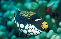 Leopard handle fish, Balistoides conspicillum, coral,