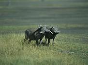 Warthogs, Phacochoerus aethiopicus,