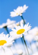 Daisies, Leucanthemum vulgare, blooms,  Fuzziness,   Nature, botany, vegetation, plants, flowers, composites, white pyrethrum, wild flowers, summer fl...