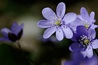 Hepatica flower (Hepatica nobilis). Mecklenburg Western Pomerania, Germany