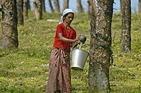 Indian woman collecting gum on a gum-tree plantation between Kottayam and Periyar. Kerala, India 2005.