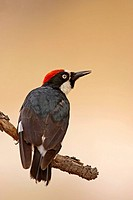 Acorn Woodpecker (Melanerpes formicivorus)