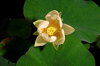 American Lotus (Nelumbo lutea) opening. This plant is native to North America and blooms in late-July to mid-August. This image is part of a time-laps...