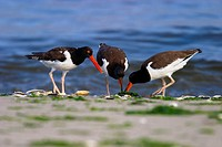 Three American Oystercatchers feeding on shellfish at Breezy Point, part of Gateway National Recreation Area in the borough of Queens.